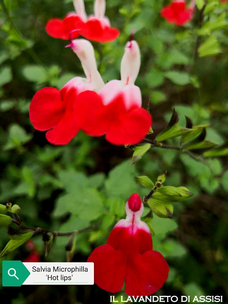 Salvia Hot Lips 1.jpg