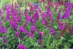 Buddleja Blue Chip.jpg