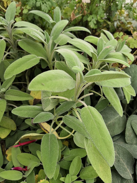 Salvia Officinale.jpg