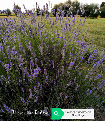 Lavanda intermedia grey edge. Vaso 18