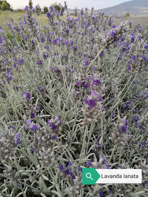 Lavanda lanata Richard Grey