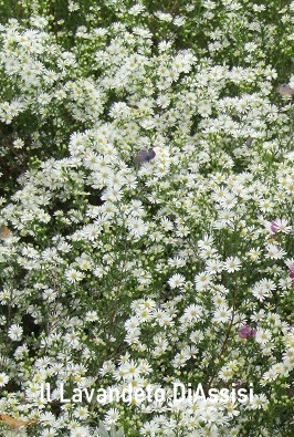 Aster bianco