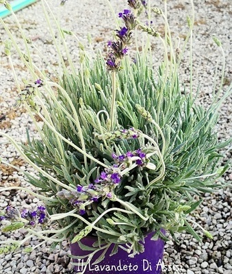 Lavanda goodwin Creek Grey