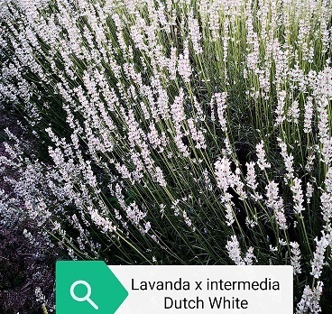 Lavanda intermedia Dutch White