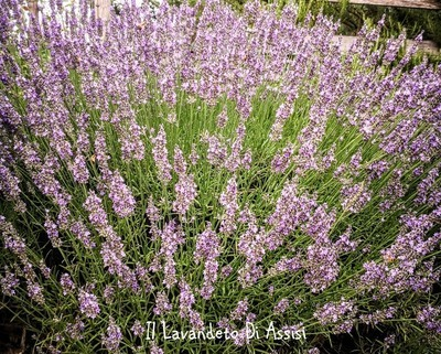 Lavanda intermedia Sussex vaso 18