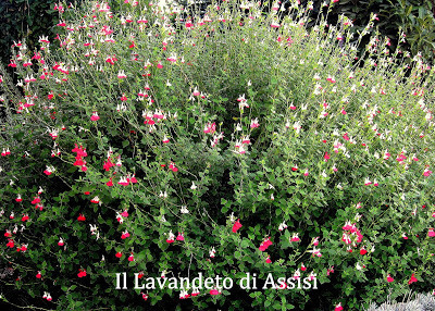 salvia greggii hot lips, salvia+hot+lips